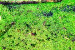 Lagoa coberta pela lentilha-d'?gua em Hampstead Heath de Londres imagem de stock
