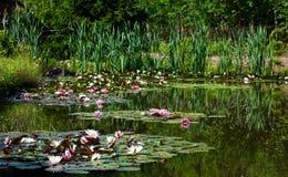 Lagoa com lírios do watter Imagem de Stock Royalty Free