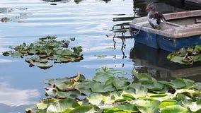 Lagoa com lírios e ganso de água video estoque