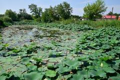 Lagoa com lótus Lótus na estação de crescimento Plantas decorativas na lagoa Fotos de Stock