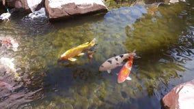 Lagoa com os grandes peixes vermelhos, alaranjados e brancos filme