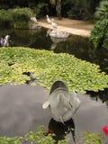 Lagoa com peixe dourado imagem de stock