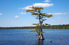 Lagoa Cypress Foto de Stock Royalty Free