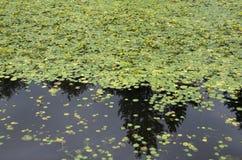 Lagoa da almofada de lírio Foto de Stock