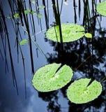Lagoa da almofada de Lilly Imagem de Stock Royalty Free