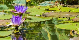 Lagoa da rã de Waterlilys fotografia de stock