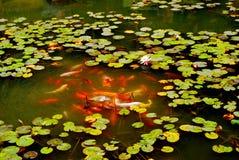 Lagoa das carpas de Brodcaded Imagens de Stock