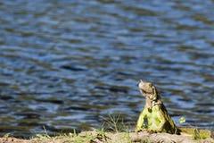 Lagoa das ilusões, parque canabal Villahermosa da iguana do garrido dos tomas, Tabasco, México Foto de Stock