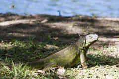Lagoa das ilusões, parque canabal Villahermosa da iguana do garrido dos tomas, Tabasco, México Imagens de Stock