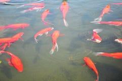 Lagoa de Koi Imagens de Stock