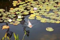 Lagoa de Koi Foto de Stock
