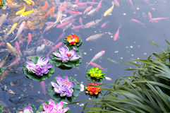 Lagoa de Koi fotografia de stock