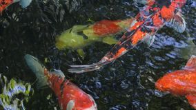 Lagoa de Koi video estoque