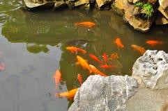 A lagoa de Koi Fish no templo velho do ` s do deus da cidade e Yuyuan jardinam, Shanghai Imagem de Stock