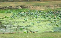 Lagoa de lótus grande Esta lagoa é casa a muitas fontes dos animais e do alimento foto de stock