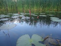 01 Lagoa de lótus natural imagem de stock royalty free