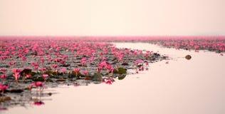 Lagoa de lótus vermelha Foto de Stock Royalty Free