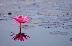 Lagoa de lótus vermelha Foto de Stock