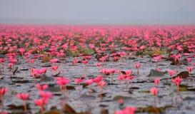 Lagoa de lótus vermelha Fotografia de Stock