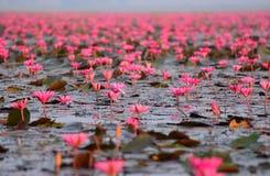 Lagoa de lótus vermelha Fotografia de Stock Royalty Free
