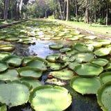 Lagoa de Lilly Foto de Stock Royalty Free