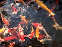 Lagoa de peixes da carpa Foto de Stock