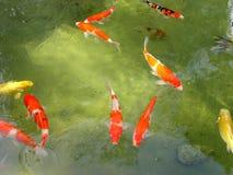 Lagoa de peixes de Koi imagem de stock