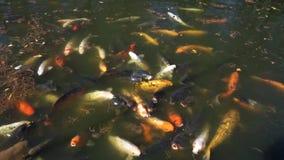Lagoa de peixes de Koi video estoque