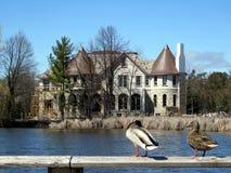 A lagoa de Thornhill ducks 2017 Fotografia de Stock Royalty Free