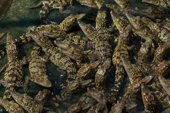 Lagoa do berçário dos crocodilos Fotografia de Stock