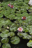 Lagoa do koi do quintal Fotos de Stock
