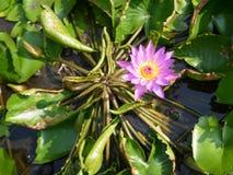 A lagoa do lírio Imagens de Stock Royalty Free