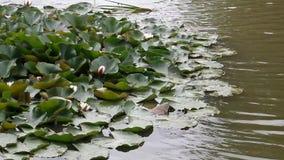 Lagoa do lírio vídeos de arquivo
