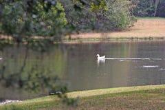 Lagoa do pato fotografia de stock