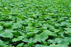 Lagoa dos lótus Foto de Stock Royalty Free