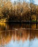 Lagoa e patos fotografia de stock