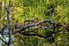 Lagoa e ramo Foto de Stock Royalty Free