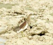 Lagoa-Garça-real indiana Imagens de Stock Royalty Free