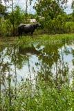 A lagoa grande do búfalo Fotografia de Stock Royalty Free