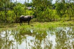 A lagoa grande do búfalo Foto de Stock Royalty Free