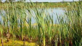 Lagoa idílico verde com pastagem filme