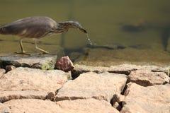 Lagoa indiana isolada da garça-real da lagoa imagem de stock royalty free