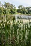 Lagoa, juncos e álamos Imagens de Stock