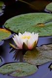 Lagoa lilly Fotos de Stock Royalty Free