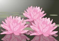 Lagoa verde roxa cor-de-rosa das flores de lótus Fotografia de Stock Royalty Free