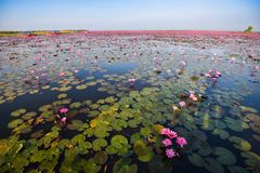 Lagoa vermelha de Udon Thani Lotus Lake Color do marco Imagens de Stock
