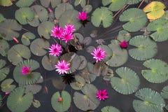 Lagoa vermelha do lírio fotografia de stock royalty free