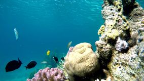 Lagoon, Diving, Submarine life. Coral reef. Exotic fishes. The beauty of the underwater world. Life in the ocean. Diving on a tropical reef. Submarine life stock video