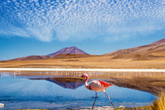 Lagoon flamingo bolivia. Laguna at the Ruta de las Joyas altoandinas in Bolivia with pink flamingo walking through the scene Royalty Free Stock Images