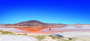 Lagoon flamingo bolivia Royalty Free Stock Image